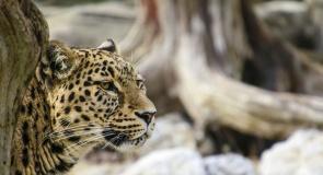 c_295_160_16777215_00_images_tours_leopard.jpg
