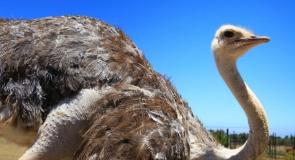 c_295_160_16777215_00_images_tours_ostrich_farm.jpg